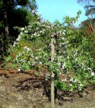 A lone apple tree cannot rely on trees in neighbouring gardens for adequate pollination