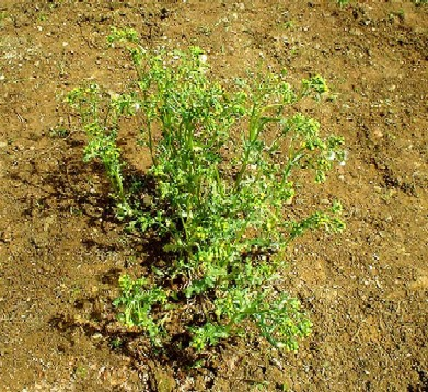 Groundsel - one of the most common and ubiquitous of weeds
